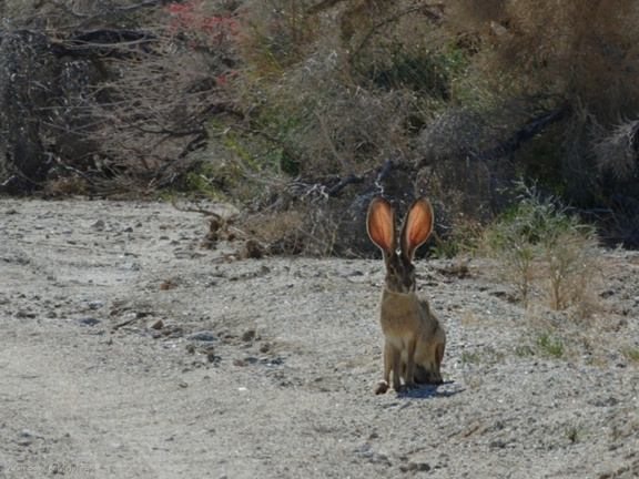 Lepus-californicus-jackrabbit-Mine-Wash-2009-03-06-CRW 7762