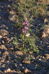 Lupinus-sp-Slot-Canyon-area-2009-03-07-CRW 7873