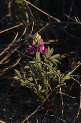 Lupinus-sp-Slot-Canyon-area-2009-03-07-CRW 7874