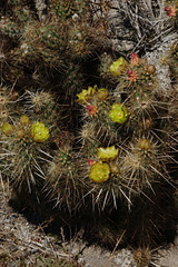 Opuntia-bigelovii-teddybear-cholla-Visitor-Center-2009-03-07-CRW 7804
