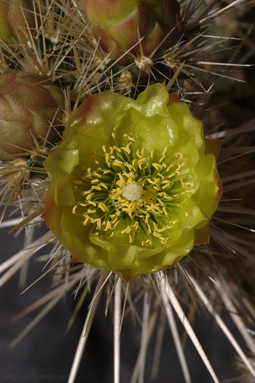 Opuntia-echinocarpa-silver-cholla-Visitor-Center-2009-03-07-CRW 7800