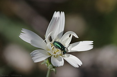 Stephanomeria-sp-wire-lettuce-with-green-beetle-Mine-Wash-2009-03-06-CRW 7756