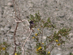 hummingbird-Costas-Hawk-Canyon-2009-03-08-IMG 2383