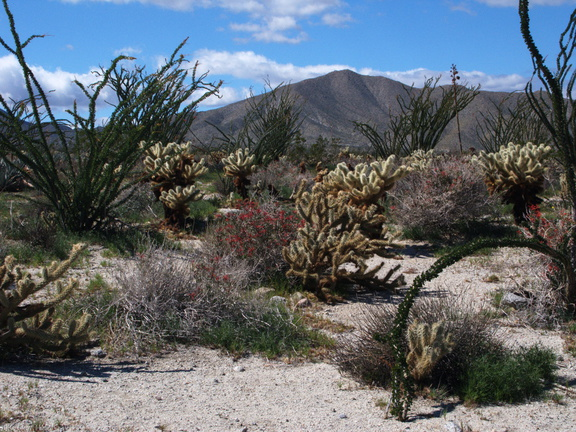 view-ocotillo-teddybear-cholla-Mine-Wash-2009-03-06-IMG 1978
