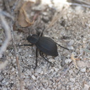 black-beetle-indet-Blair-Valley-pictographs-Anza-Borrego-2010-03-29-IMG 0104