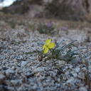 Camissonia-micrantha-miniature-suncup-Blair-Valley-Anza-Borrego-2012-03-11-IMG 0804