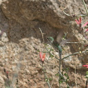 Costas-hummingbird-near-overlook-to-Vallecito-Blair-Valley-pictographs-trail-Anza-Borrego-2012-03-11-IMG 4185