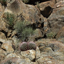 Ferocactus-pair-on-rock-Rainbow-Canyon-2012-02-18-IMG 3930