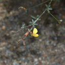 Lotus-sp-rigidus-Rainbow-Canyon-2012-02-18-IMG 3927