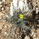 Mentzelia-albicaulis-small-flowered-blazing-star-Rainbow-Canyon-2012-02-18-IMG 3979