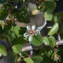 Peraphyllum-ramosissimum-crab-apple-Rainbow-Canyon-2012-02-18-IMG 3942