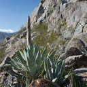 yucca-bud-and-view-south-Blair-Valley-campsite-2012-02-19-IMG 4037