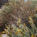 Chrysothamnus-nauseosus-rabbitbrush-base-Mt-Ryan-trail-Joshua-Tree-2011-11-12-IMG 0121