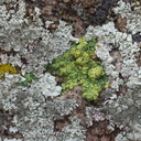 lichen-Hidden-Valley-Joshua-Tree-2011-11-12-IMG 0113