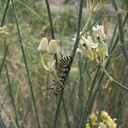 monarch-butterfly-caterpillar-on-Asclepias-asperula-Box-Canyon-Joshua-Tree-2011-11-11-IMG 0062