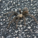 tarantula-Aphonopelma-sp-2-crossing-road-south-Joshua-Tree-2011-11-13-IMG 3577