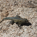 Western-fence-lizard-Sceleporus-occidentalis-Hidden-Valley-Joshua-Tree-2012-03-15-IMG 1238