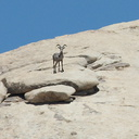bighorn-sheep-Ovis-canadensis-on-rock-mountains-of-Hidden-Valley-Joshua-Tree-2012-06-30-IMG 5554