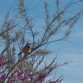 cactus-wren-at-motel-Campylorhynchus-brunneicapellus-in-Yucca-Valley-Joshua-Tree-2012-03-16-IMG_1328.jpg