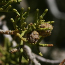 juniperus-californicus-with-possible-tip-galls-barker-dam-area-2008-03-29-img 6771
