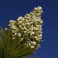 yucca-brevifolia-joshua-tree-inflorescence-geology-road-area-2008-03-29-img 6823