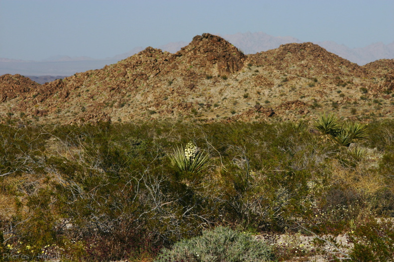 yucca-schidigera-landscape-mojave-yucca-cottonwood-springs-rd-2008-03-28-img_6650.jpg