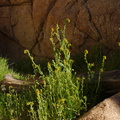 Amsinckia-intermedia-common-fiddleneck-Hidden-Valley-Joshua-Tree-NP-2017-03-25-IMG 7907