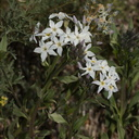 Amsonia-tomentosa-Hidden-Valley-Joshua-Tree-NP-2017-03-25-IMG 4428