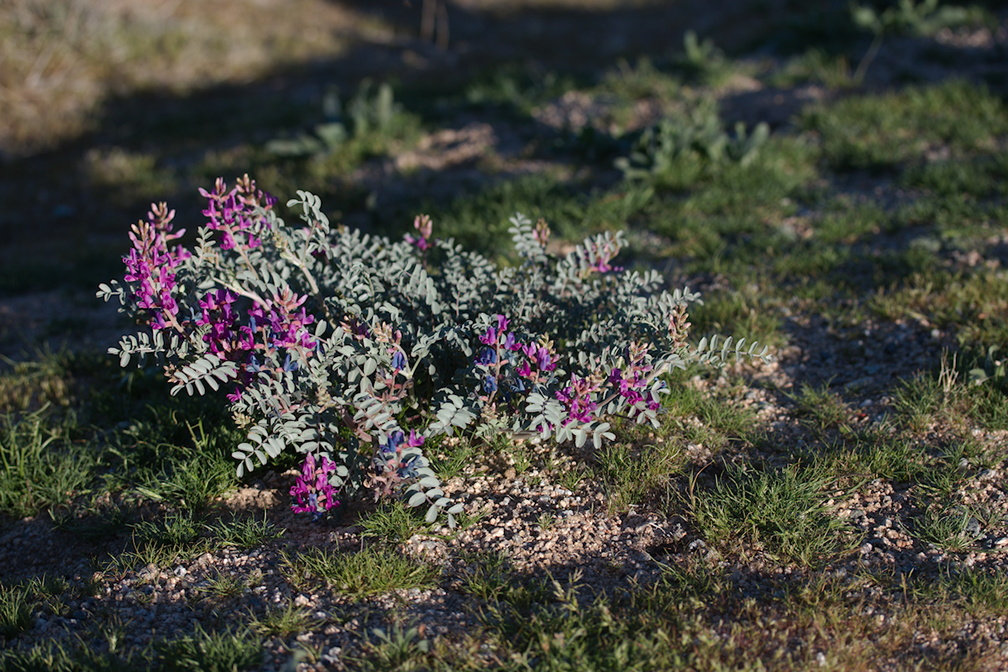 Astragalus-lentiginosus-freckled-milkvetch-Park-Blvd-N-of-Hidden-Valley-Joshua-Tree-NP-2017-03-16-IMG 4104