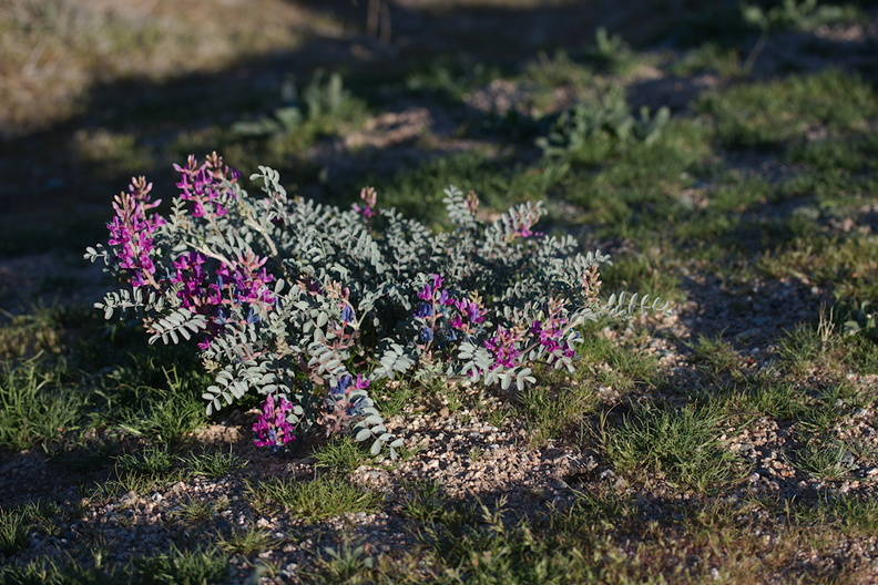 Astragalus-lentiginosus-freckled-milkvetch-Park-Blvd-N-of-Hidden-Valley-Joshua-Tree-NP-2017-03-16-IMG_4104.jpg