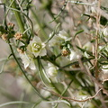 Atriplex-canescens-fourwing-saltbush--indet-unsure--Pinto-Basin-Rd-S-of-pass-Joshua-Tree-NP-2018-03-15-IMG 4101