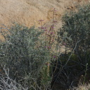 Boechera-pulchra-beautiful-rockcress-Hidden-Valley-Joshua-Tree-NP-2017-03-25-IMG 4402