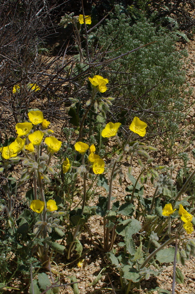 Camissonia-brevipes-golden-suncup-Cottonwood-Spring-Joshua-Tree-NP-2017-03-14-IMG_7403.jpg