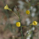 Camissonia-brevipes-yellow-cups--aka-Chylismia--Fried-Liver-Wash-Pinto-Basin-Rd-Joshua-Tree-NP-2017-03-16-IMG 4189