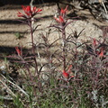 Castilleja-linearifolia-desert-paintbrush-Hidden-Valley-Joshua-Tree-NP-2017-03-25-IMG 4407