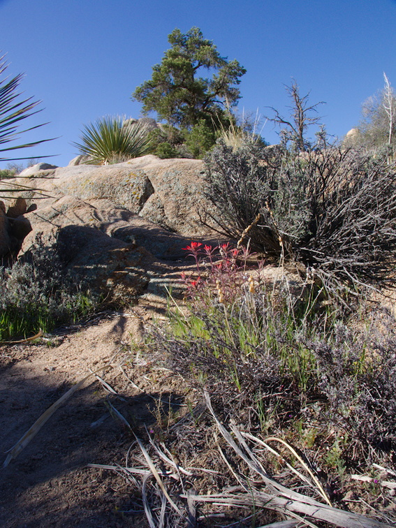 Castilleja-linearifolia-desert-paintbrush-Hidden-Valley-Joshua-Tree-NP-2017-03-25-IMG 7897