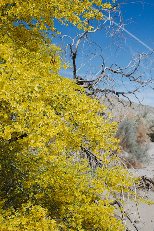 Cercidium-floridum-now-Parkinsonia-florida-paloverde-Box-Canyon-south-Joshua-Tree-NP-2016-03-04-IMG 2850