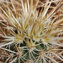 Echinocereus-engelmannii-hedgehog-cactus-detail-of-spines-south-Joshua-Tree-NP-2017-03-24-IMG 4307