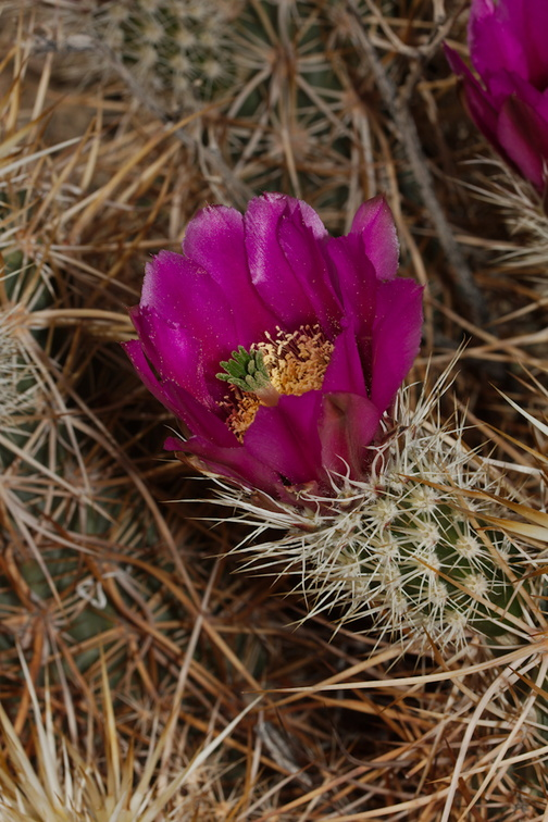 Echinocereus-engelmannii-hedgehog-cactus-south-Joshua-Tree-NP-2017-03-24-IMG 4298