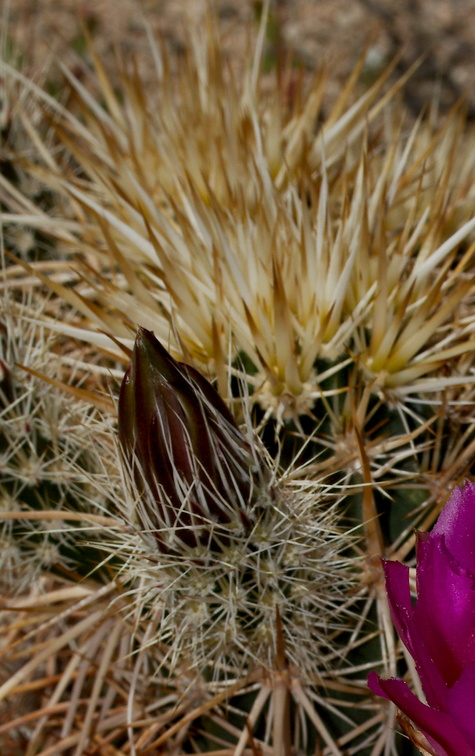 Echinocereus-engelmannii-hedgehog-cactus-south-Joshua-Tree-NP-2017-03-24-IMG 4299