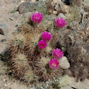 Echinocereus-engelmannii-hedgehog-cactus-south-Joshua-Tree-NP-2017-03-24-IMG 4322