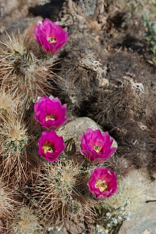 Echinocereus-engelmannii-hedgehog-cactus-south-Joshua-Tree-NP-2017-03-24-IMG 4324
