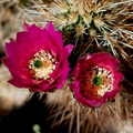Echinocereus-engelmannii-hedgehog-cactus-south-Joshua-Tree-NP-2017-03-24-IMG 4326
