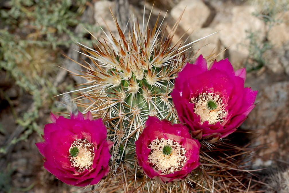 Echinocereus-engelmannii-hedgehog-cactus-south-Joshua-Tree-NP-2017-03-24-IMG 4329