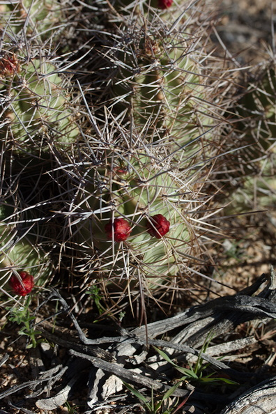 Echinocereus-mojavensis-kingcup-cactus-in-bud-Hidden-Valley-Joshua-Tree-NP-2017-03-16-IMG_4123.jpg