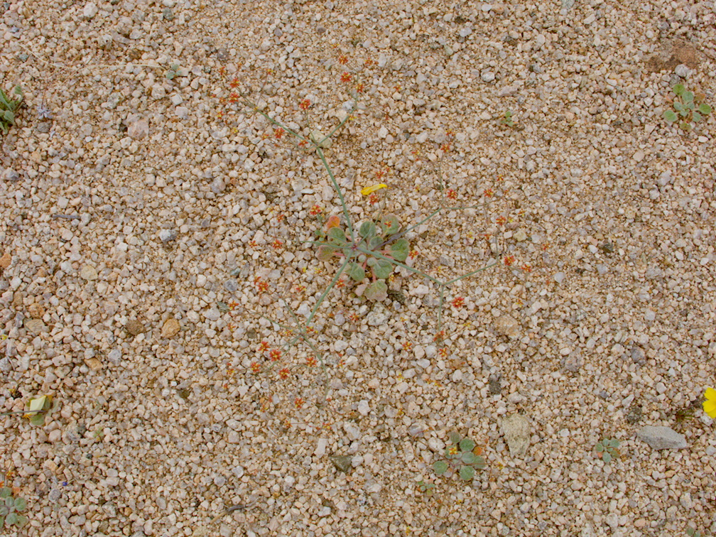 Eriogonum-nidularium-whisk-broom-Joshua-Tree-NP-2017-03-25-IMG 7979