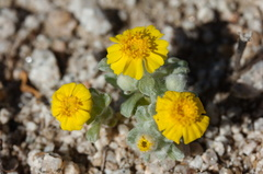 Eriophyllum-wallacei-woolly-daisy-near-Porcupine-Wash-Joshua-Tree-NP-2017-03-14-IMG 3885