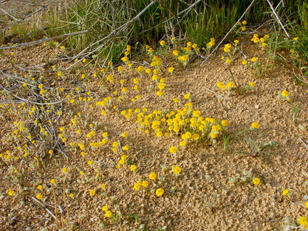 Eriophyllum-wallacei-woolly-daisy-south-Joshua-Tree-NP-2017-03-24-IMG 7846