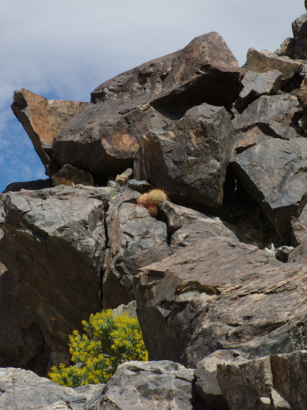 Ferocactus-cylindraceus-California-barrel-cactus-Cottonwood-Canyon-Joshua-Tree-NP-2018-03-15-IMG_7516.jpg