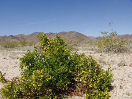 Larrea-tridentata-creosote-bush-south-Joshua-Tree-NP-2017-03-24-IMG 7821